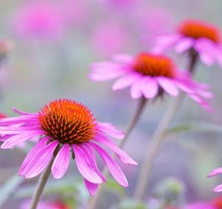 Echinacea is a complete miracle for your strong immunity ...