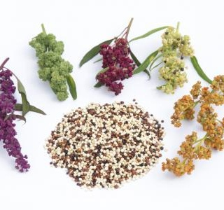 Quinoa the mother of all grains …